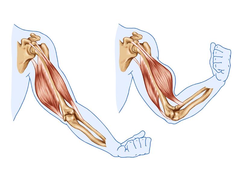 movimento dos músculos